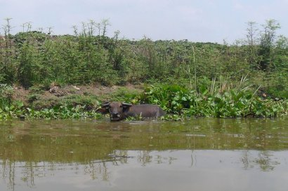 Boat excursion - Buffalo in Thai canal